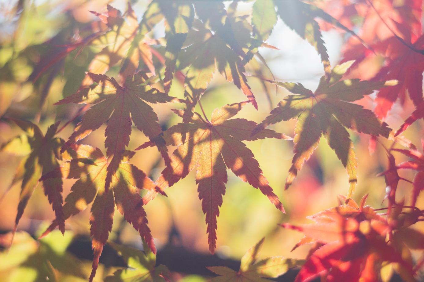 Feuilles d'érables en automne, au Japon